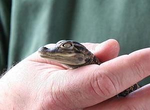 Gatorland -крокодиловая ферма, прогулки по паркам Орландо